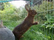 Kaninchen Deilenaar reinrassig