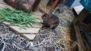 Kaninchen Kastrat Zwergkaninchen