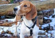 Labor-Beagle Joey