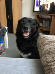 Labrador-Mischling