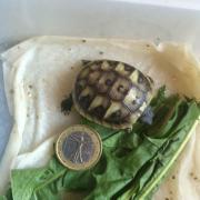 landschildkröte verm. weiblich