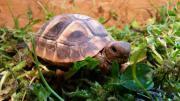Landschildkröten THB 2018