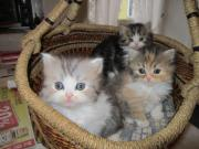 Langhaarige Kätzchen suchen