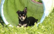 Liebenswerter Chihuahua Welpe