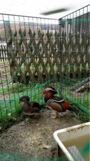 Mandarinenten Paar für