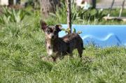 Milla, junge Chihuahua