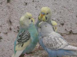 Vögel - nestjunge Wellensittiche daher auch zahm