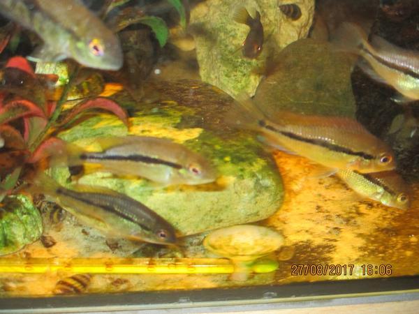 nicaragua traumbuntbarsch jungtiere in langenzenn fische aquaristik kaufen und verkaufen ber. Black Bedroom Furniture Sets. Home Design Ideas