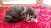 Norwegische Waldkatze - Kitten _