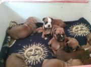 OldEnglishbulldoggen Mini Welpen