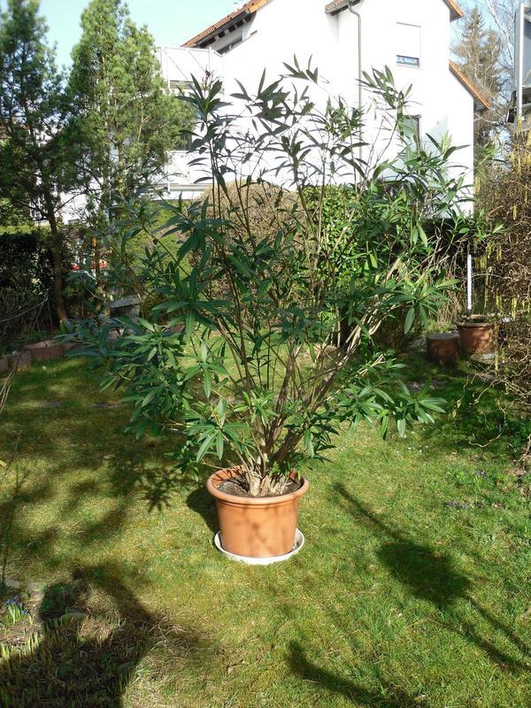 Oleander » Pflanzen