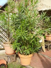 Oleander, Kübelpflanze, rosa