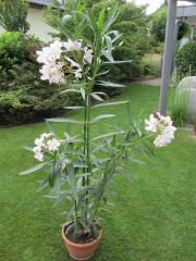Oleander Kübelpflanze weiß