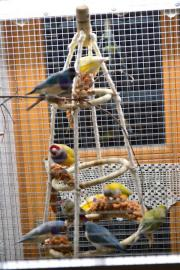 Prachtfinken: Gouldamadinen