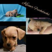 Prager-rattler & Chihuahua