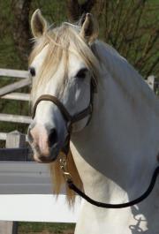 Reitbeteiligung spanischer Pferde