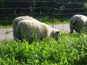 Schafe,Shropshire Schafe,