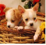 Schöne -Chihuahua kj