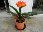 Schöne Clivie mit neuem Blütenansatz