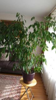 Schöner großer Ficus