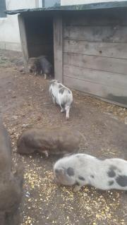 Schweinemix