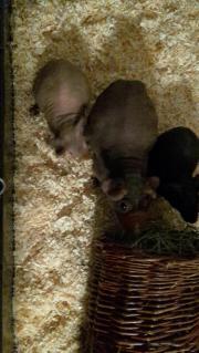 Skinny Pigs / Nacktmeerschweine