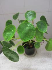 Sonderangebot - Pflanzenkiste: Ufopflanze,