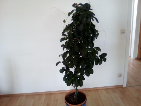 zimmerpflanzen kaufen zimmerpflanzen gebraucht. Black Bedroom Furniture Sets. Home Design Ideas