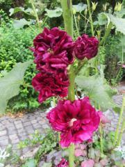 Stockrosen Farn Buxus Campanula Glockenblumen