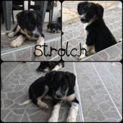Strolch (Rüde aus