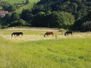 Suche Freizeitpferd/Westernpferd