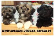 süße Bolonka Zwetna