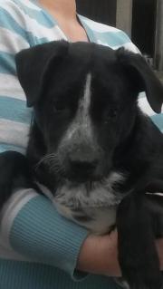 Süßer Labrador Mischlingswelpe