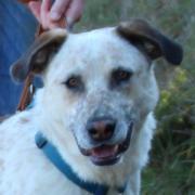 Sylvio, Labrador-Dalmatiner