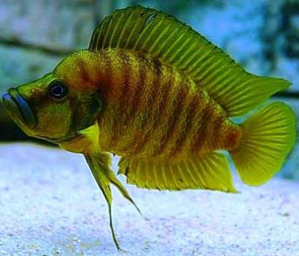 Tanganjika Altolamprologus compressiceps yellow chaitika