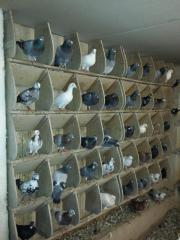 Tauben Reisebrieftauben