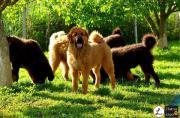 Tibetan Mastiff Welpen,