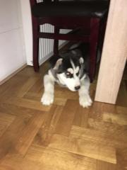 Verkaufe Husky Welpen