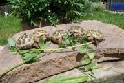 Vierzehenschildkröten von 2016
