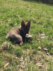 Wolfhunde-Welpen