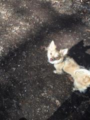 wunderschöner Chihuahua Rüde