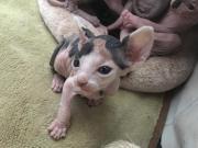 Zauberhafte Sphynx Kitten