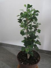 Zimmerpflanzen Gingo, Ficus