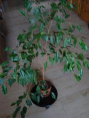Zimmerpflanzen zu verkaufen