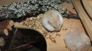 Zwerghamster / Hamster aus