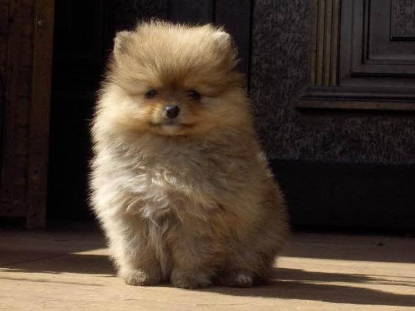zwergspitz pomeranian mini welpe teddy hund in leipzig hunde kaufen und verkaufen ber. Black Bedroom Furniture Sets. Home Design Ideas